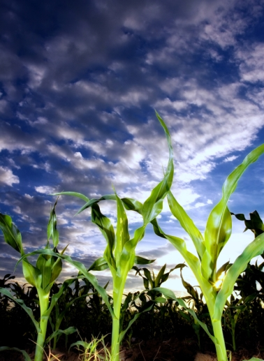 istockphoto--corn field with clouds