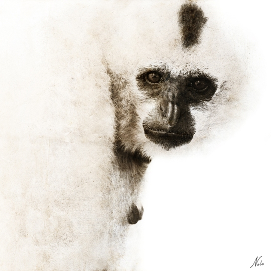 """Crested Gibbon"" by artist Nola Lee Kelsey capture in Cambosia"