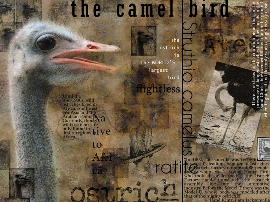 About the Ostrich
